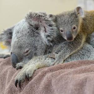 Koala, Australia Zoo Wildlife Hospital
