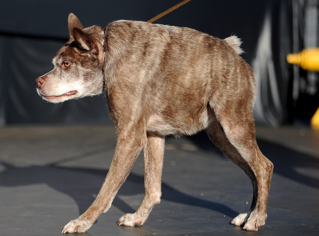 World S Ugliest Dog Of 2015 Is Quasi Modo See Pics Of
