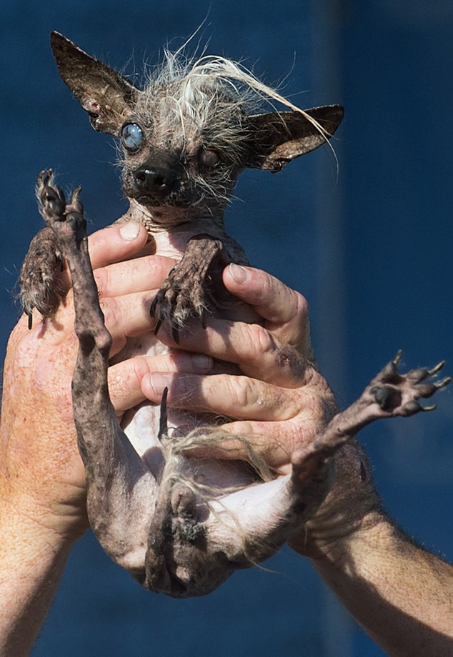 worlds ugliest dog of 2015 isquasi modo�see pics of