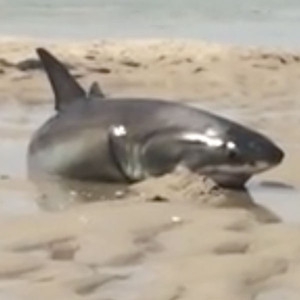 Great white shark rescue cape cod