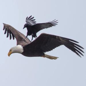 Crow Riding Eagle