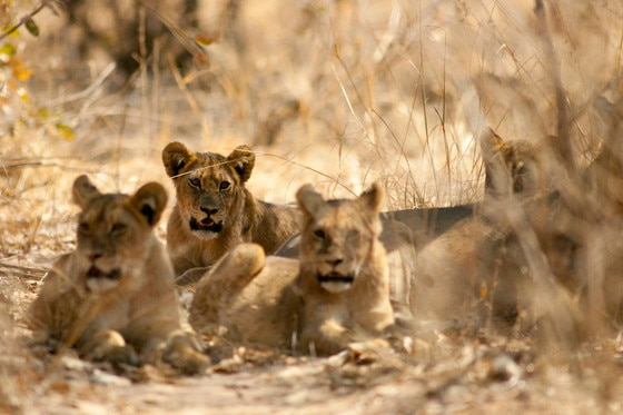 Cecil Lion Cubs