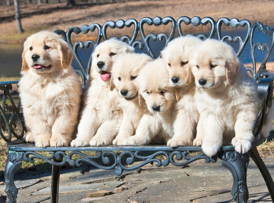 National Dog Day, Golden Retriever Puppies
