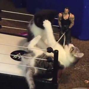 Kittens Wrestling Match