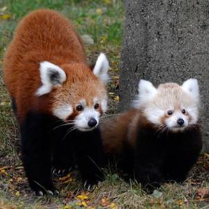 Tofu, Baby Red Panda, Detroit Zoo