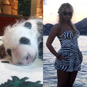 Bei Bei Panda, Beyonce