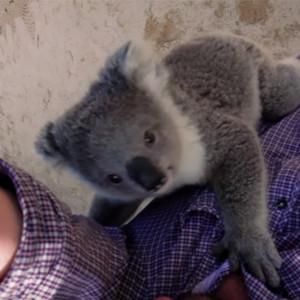 Koala Cameraman Climb