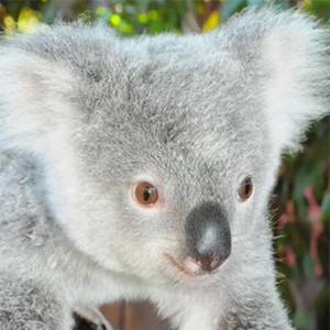 Koala, Derek Hough