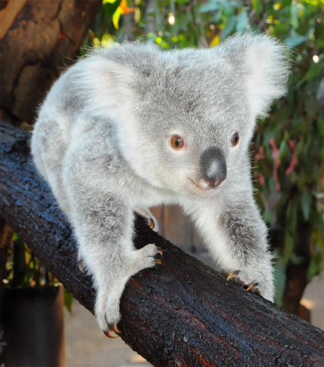 Derek Hough the Koala! Australia Zoo Names Baby Bear After