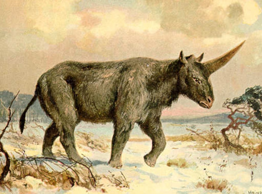 Siberian Unicorn