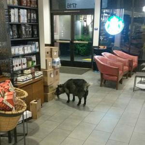 Starbucks Goat
