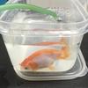 Goldfish Swallows Pebble