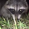 Raccoon Steals Phone, Viral Video