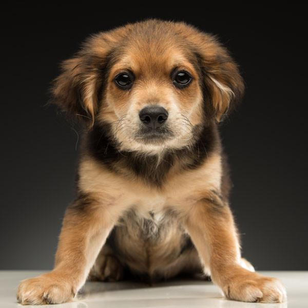 2017 Oscars Puppies, LA Animal Rescue, Pinto