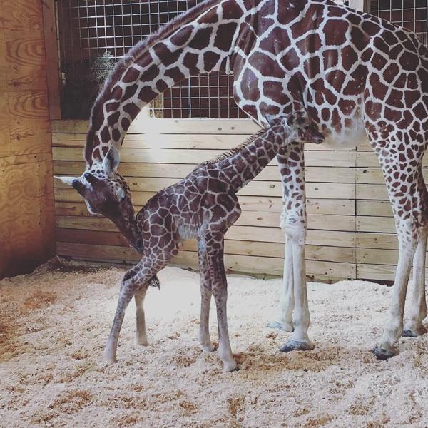 April the Giraffe, Twitter
