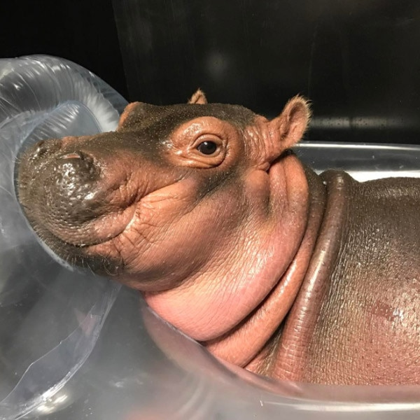 Fiona the Hippo: A Love Story