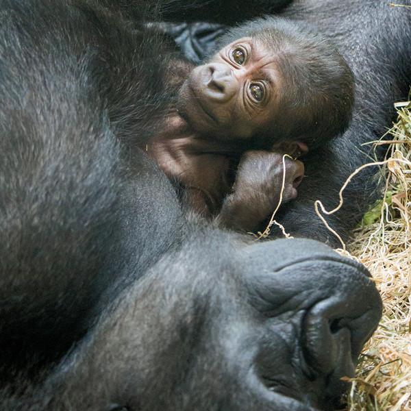 Philadelphia Zoo Gorilla Birth