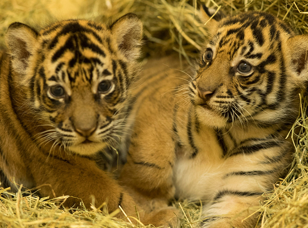 Baby Tigers, Disney's Animal Kingdom