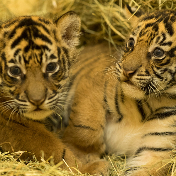 Baby Tigers, Disney's Animal Kingdom