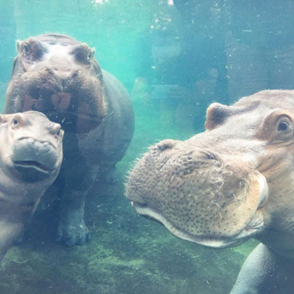 Fiona the Hippo, Henry