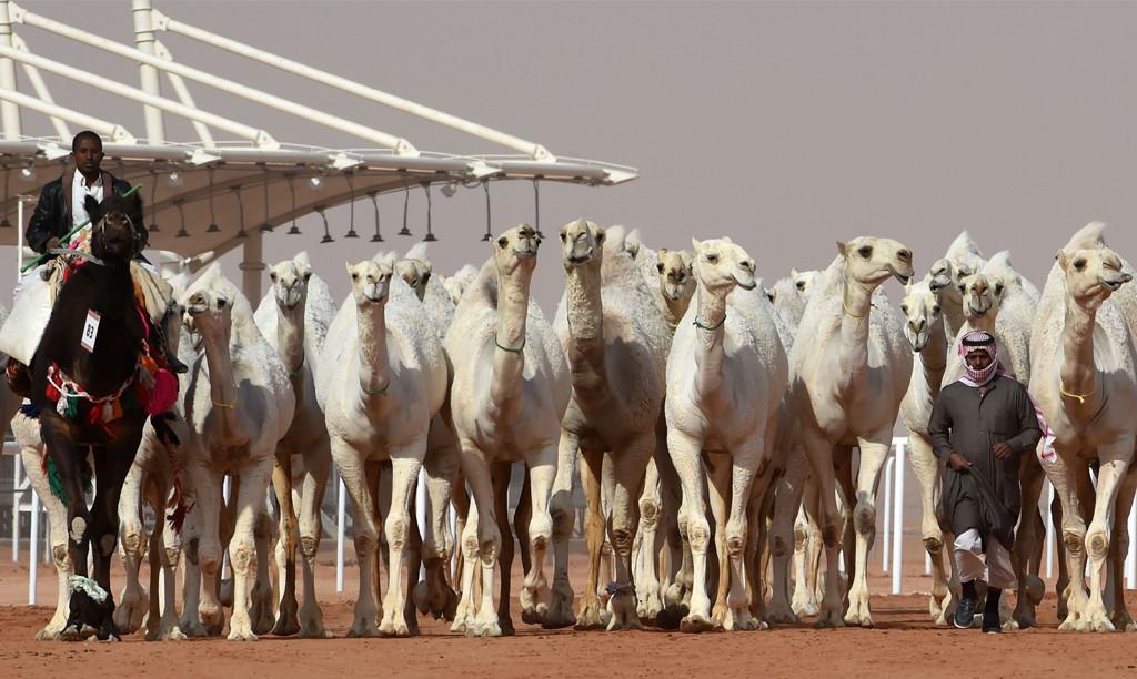 King Abdulaziz Camel Festival