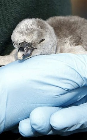 Acorn the Penguin, Princess Catherine, Prince William, Kate Middleton