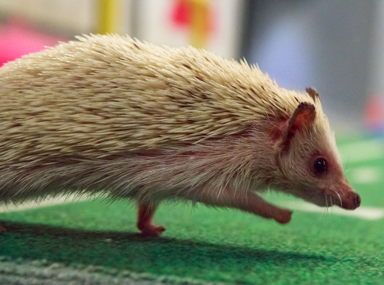 Hedgehog, Puppy Bowl
