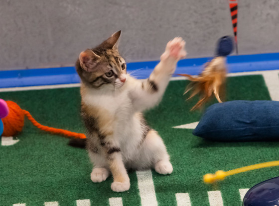 Kitten, Puppy Bowl