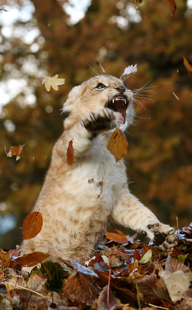 Baby Lion Playing in Leaves, Karis
