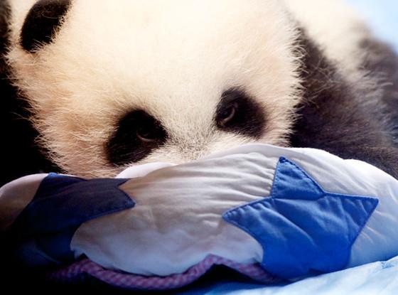 Zoo Aquarium of Madrid Giant Panda