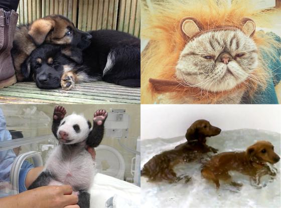 Panda, IOM Police Dogs, Rawr Kitteh, Mini Dachshund