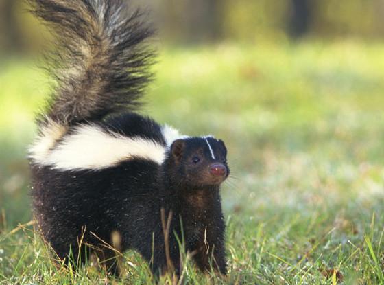 Adult Skunk