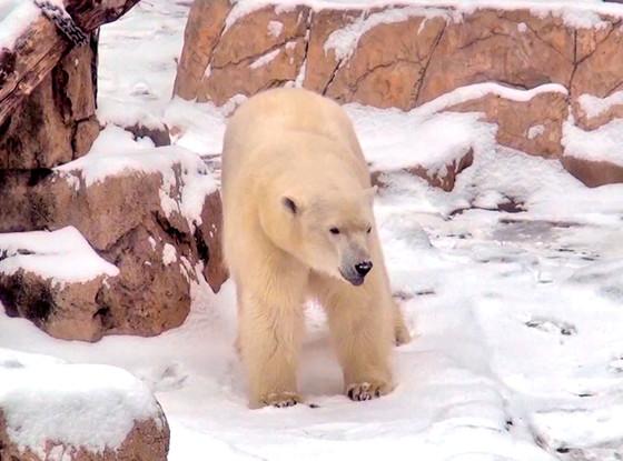Anana, Lincoln Park Zoo Polar Bear