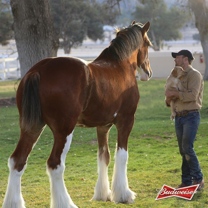 Is budweiser ditching the iconic clydesdales to appear more hip to is budweiser ditching the iconic clydesdales to appear more hip to young people e news aloadofball Images