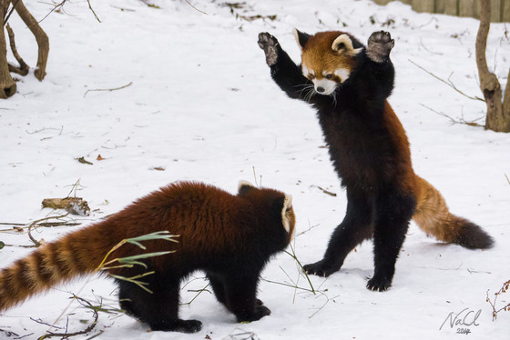 Aninimal Book: These Red Pandas Playing in the Snow Are So Cute You'll ...