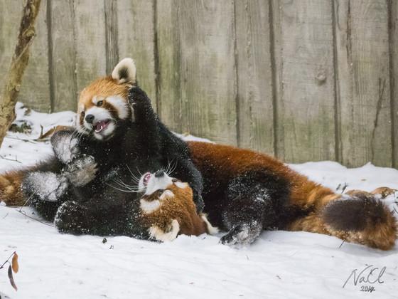 Red Pandas, Cincinnati Zoo