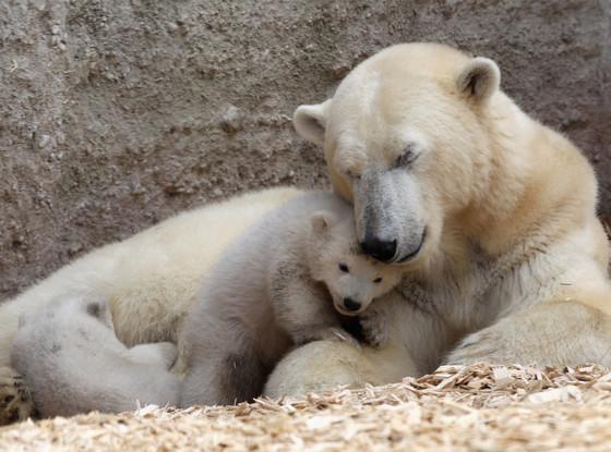Polar Bear Cubs, Twins