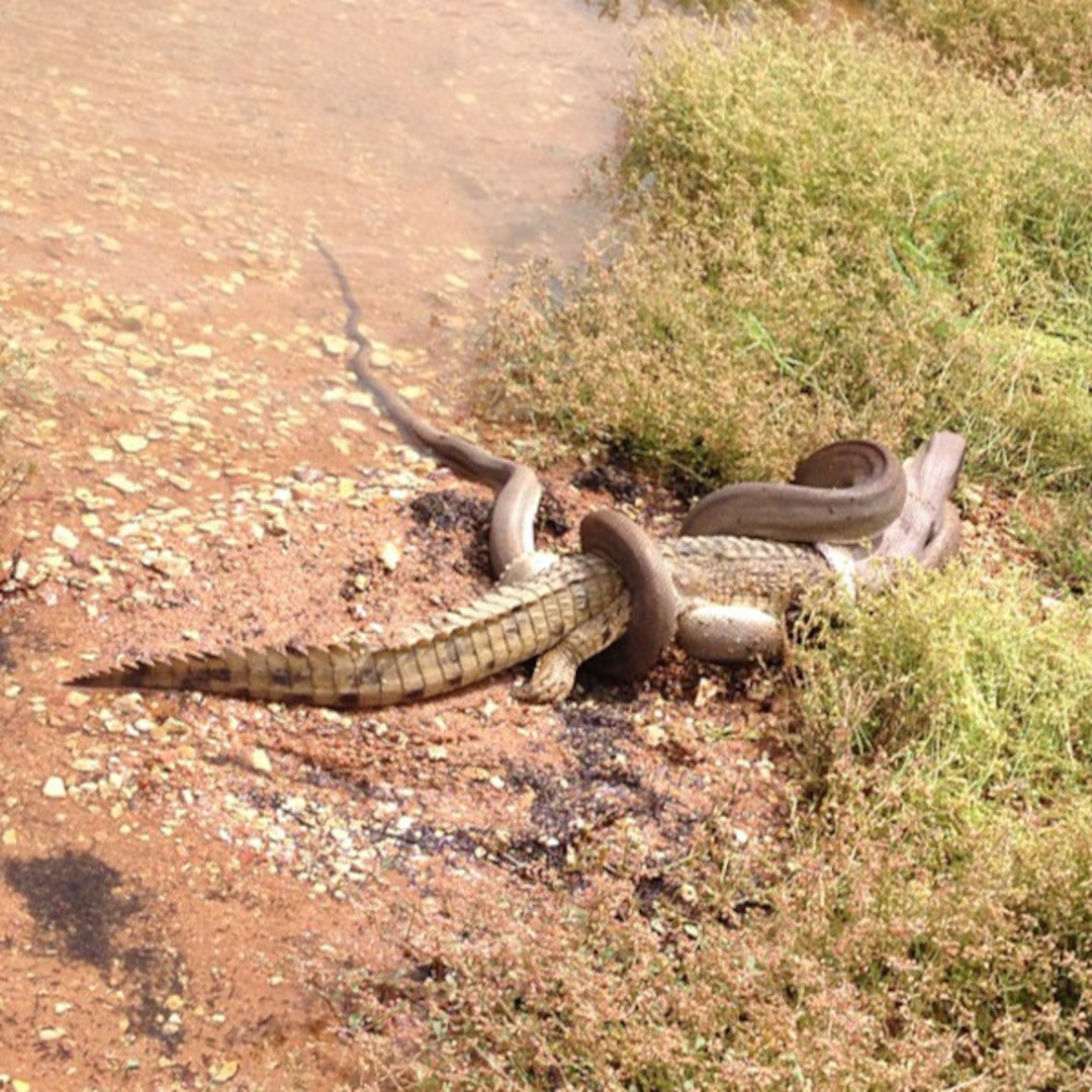 Watch This Video of a Snake Eating a Crocodile, Which ...