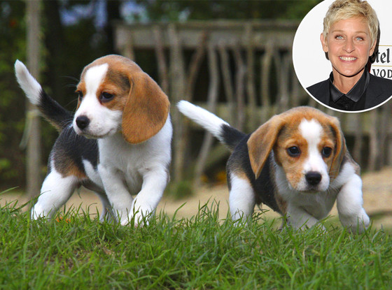 Ellen DeGeneres, Beagle Puppies