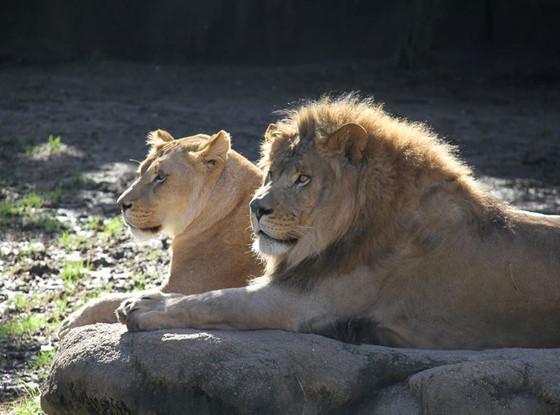 Memphis Zoo, Lions