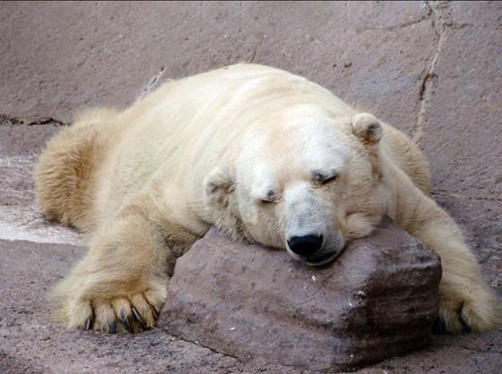 Artura, Polar Bear