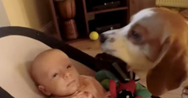 Watch This Guilty Dog Apologize To A Crying Baby After