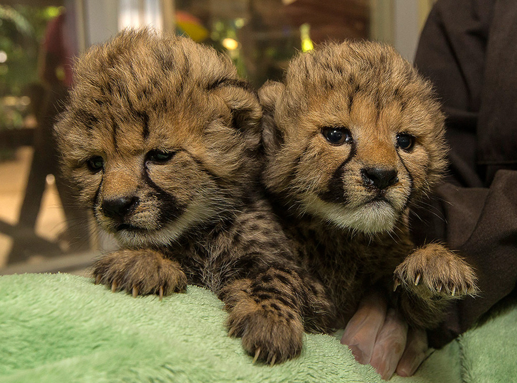 2 Baby Cheetahs Were Recently Born At The San Diego Zoo And They Re