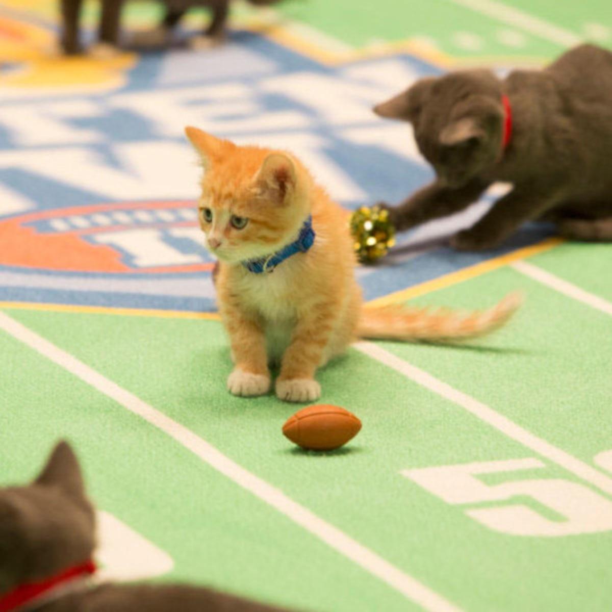 2015 Kitten Bowl Meet The Adorable Players E Online