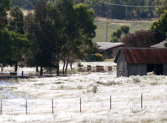 Raining Spiders in Australia