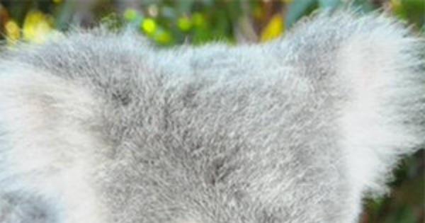 Australia Zoo Names Koala After DWTS Star: See Photo - E