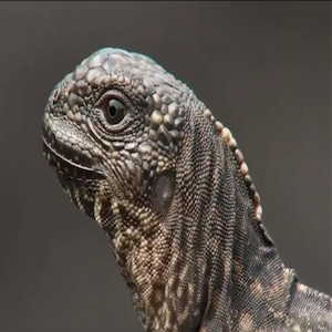 Planet Earth 2, Baby Iguana and Snake