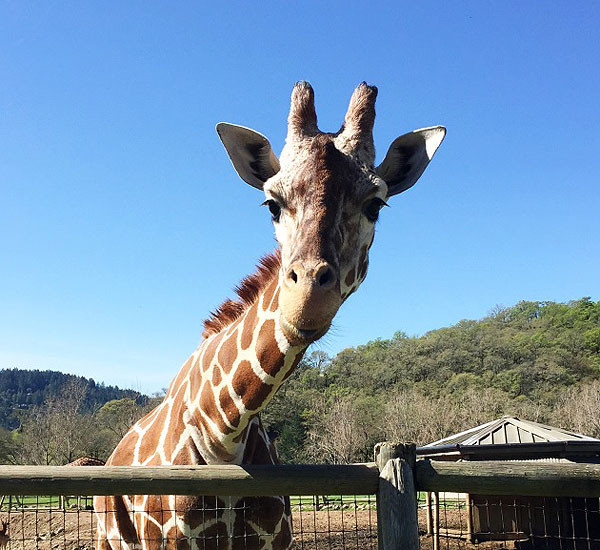 It List California, That Time I Fell In Love With A Giraffe, Sonoma's Serengeti, Safari West, Chloe Wilde