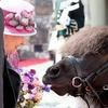Queen Elizabeth, Pony