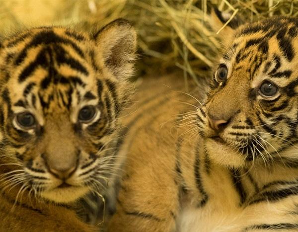 tiger gives birth to cubs at disney s animal kingdom e news